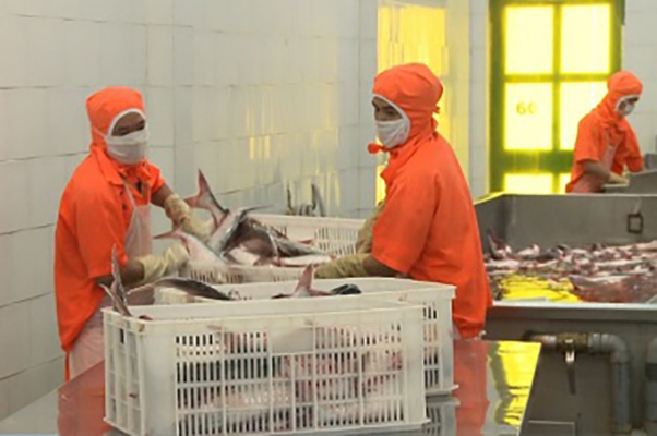 The prospect of increasing pangasius exports to China