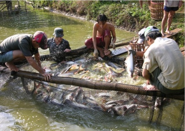 An Giang promotes the link of Pangasius consumption