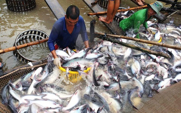 Mekong Delta increases the area of ​​farming pangasius towards GAP