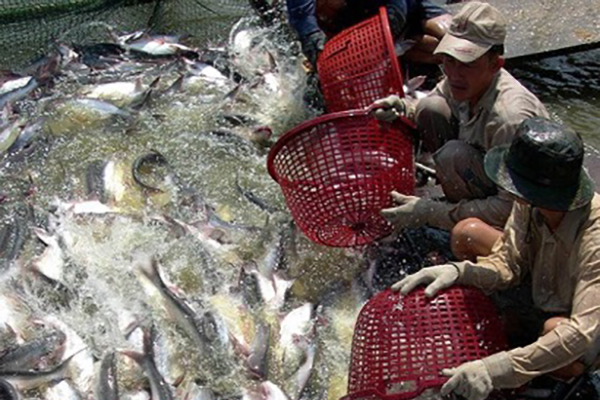 Cooperating to create pangasius value chain